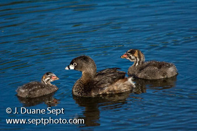 Pied-billed Grebe, Podilymbus podiceps, adult & young,