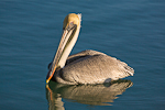 Pelican, Brown