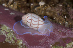 Lined Bubble-shell, Bullina lineata