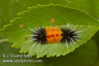 Spotted Tussock Moth, Lophocampa maculata