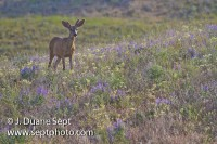 Mule Deer, Odocoileus hemionus, male in velvet on the prairie