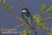 Violet-green Swallow, Tachycineta thalassina, male