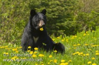 American Black Bear, Ursus americanus, eating dandelion flowers