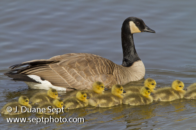 Canada Goose, Branta canadensis, pair with young goslings
