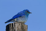 Mountain Bluebird, Sialia currucoides