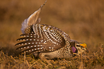 Sharp-tailed Grouse, Tympanuchus phasianellus, male